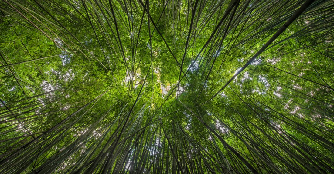 Looking up through the bamboo along the Pipiwai Trail near Hana, Maui