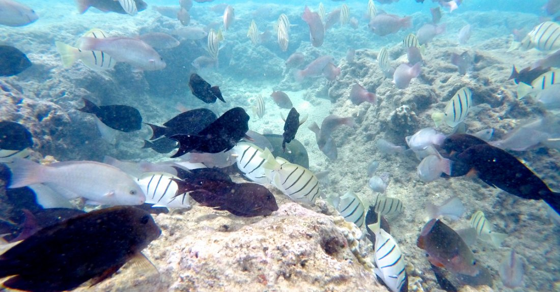 Fish on the coral reef of Hanauma Bay