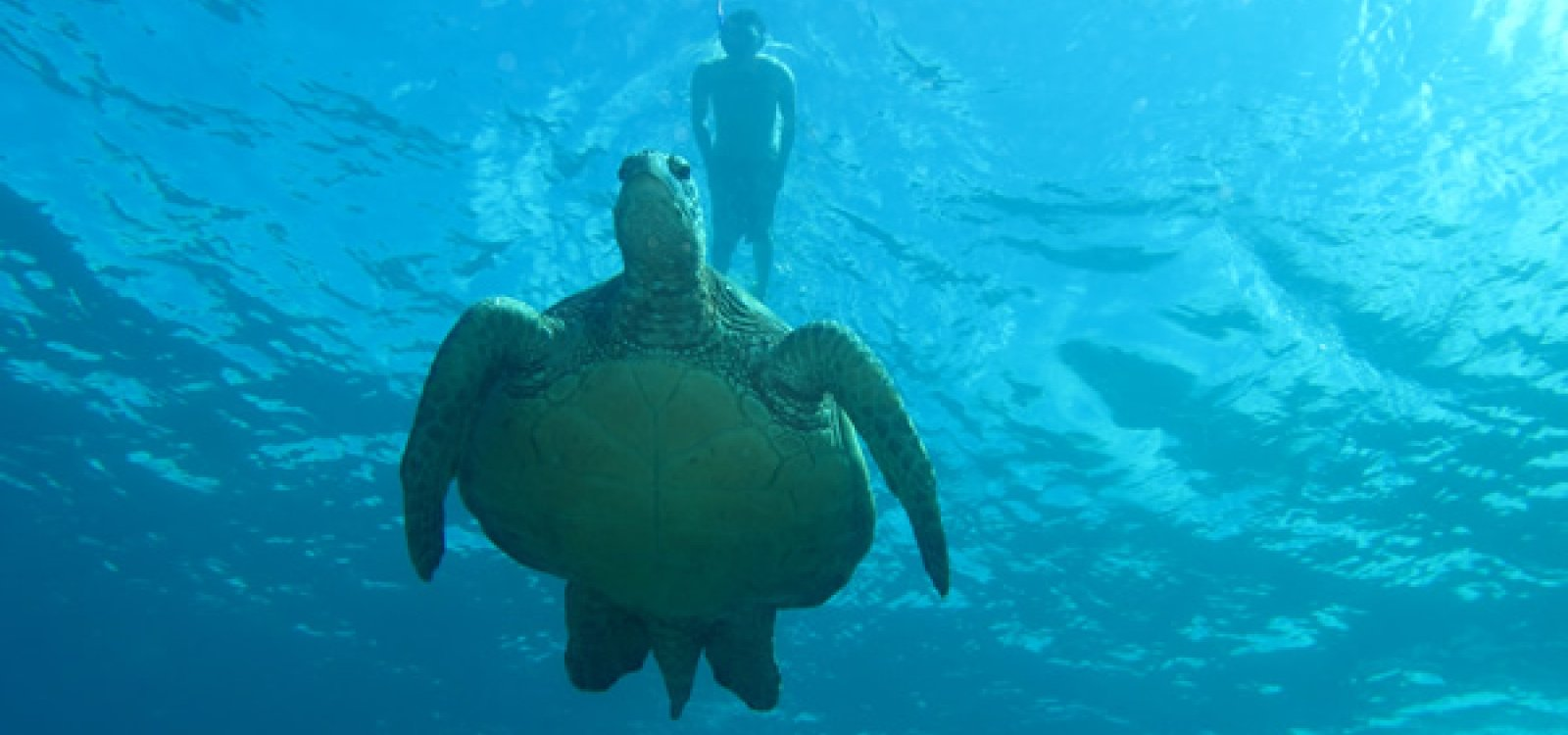 Beautiful sea turtle on your molokini snorkel adventure