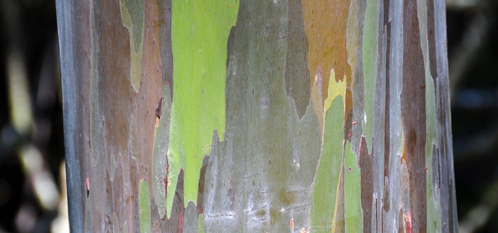 Painted Bark Eucalyptus Trees | Maui Hawaii