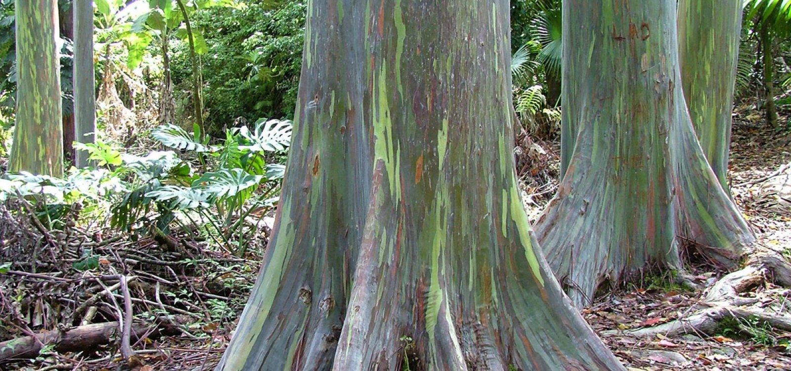 Painted Bark Eucalyptus Trees Photo Gallery