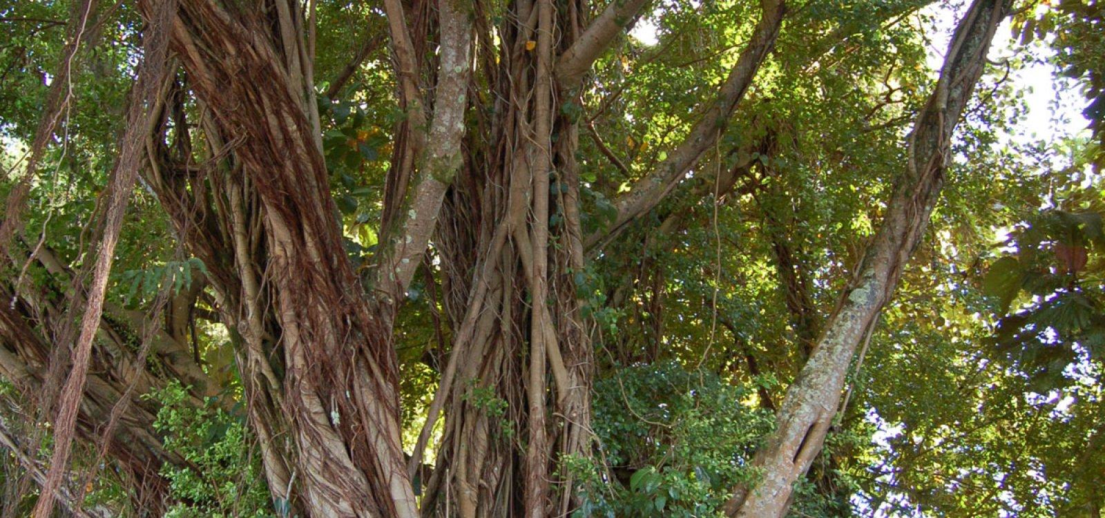 Banyan Tree Drive   Big Island of Hawaii