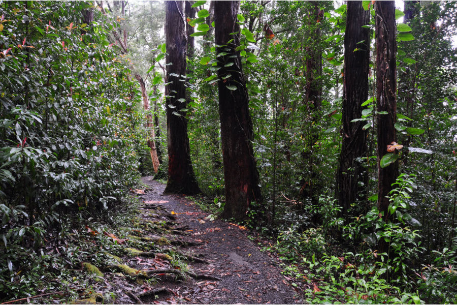 Waikamoi Forest Ridge Trail Image