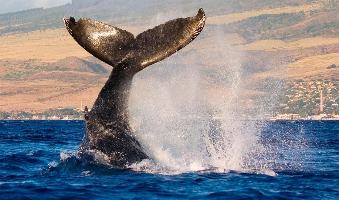 The majestic humpback whales put on a stunning show